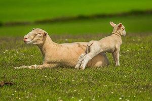 ovejas-queseria